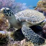 anemone reef phuket.jpg1