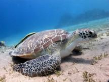 marsa alam żółw